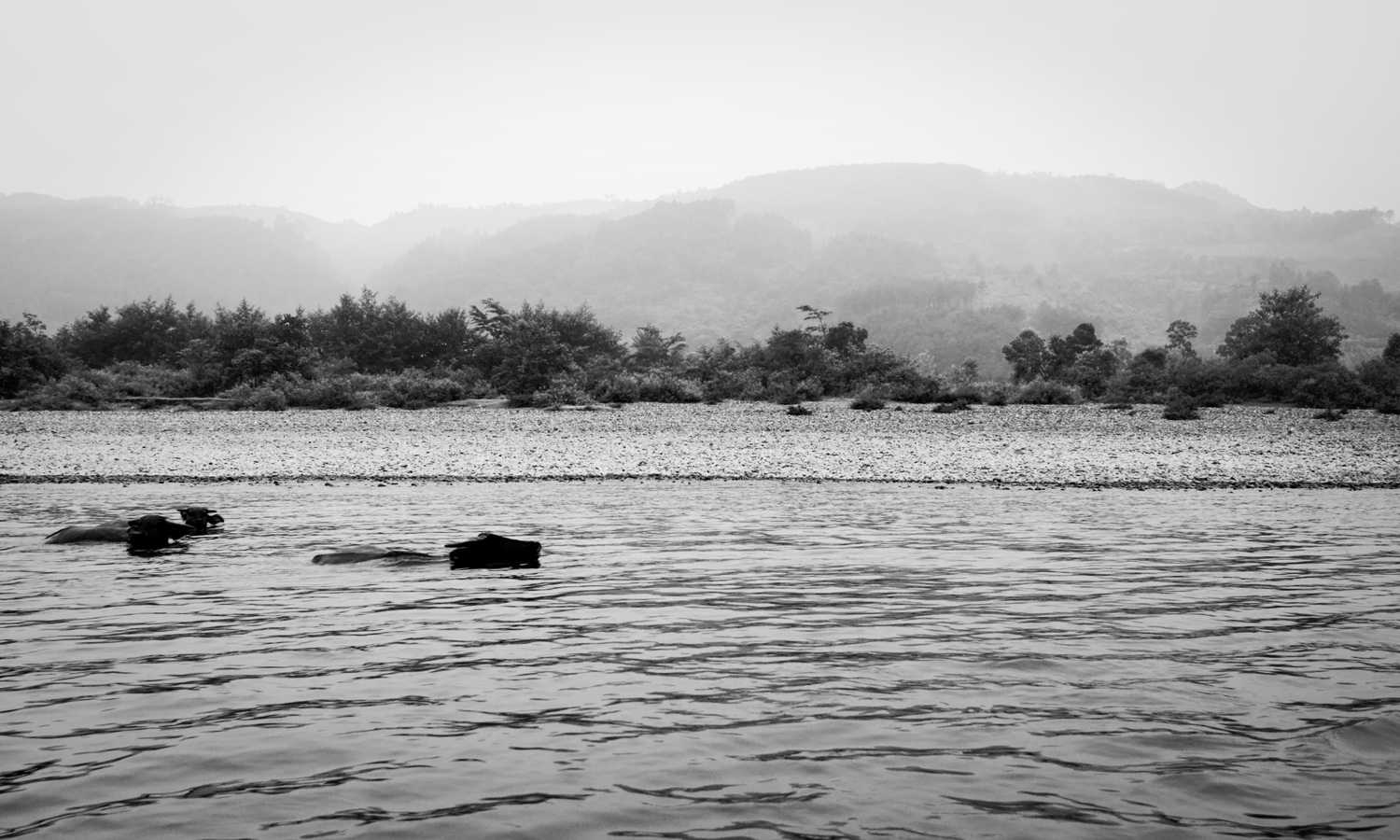 picture of two buffalos swimming in the li river in black and white, guilin, china