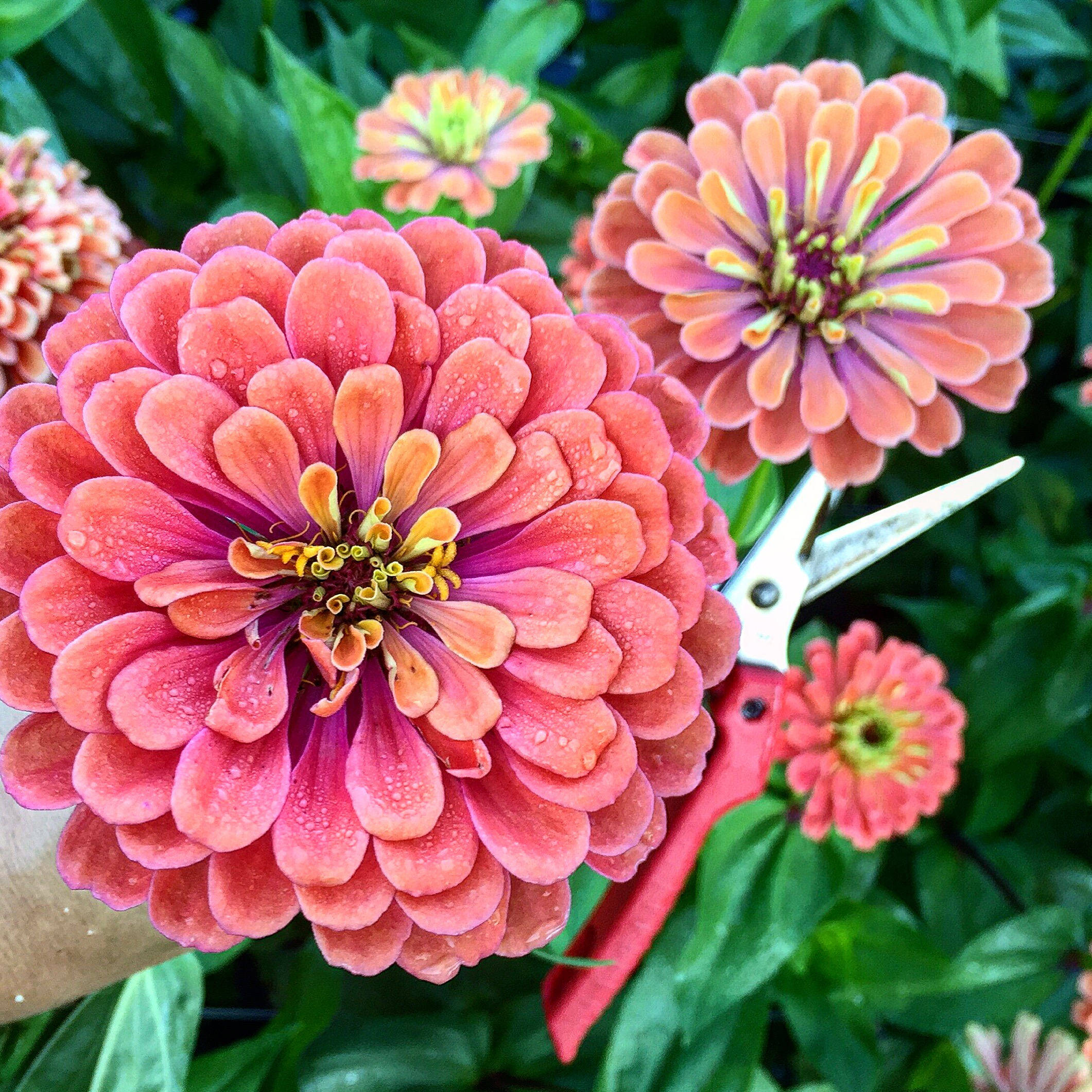 Benary's Giant Salmon Rose Zinnia - Zinnias are quite possibly the happiest flower that I can think of and this 'Salmon Rose' color just feels like summer. Plus they love the heat! Once your plants begin to flower, cut them deeply to encourage longer stems and more branching. To pick them at the proper stage, wiggle the stems just under the head of the flower - if they are floppy and very wiggly, wait another day or so. If the stem is firm, they're ready to cut! Zinnias are susceptible to powdery mildew (especially if you're in the hot, humid south) so I recommend sowing one round of plants now and another about a month later. These large zinnias will be the perfect focal flower in your summer bouquet.