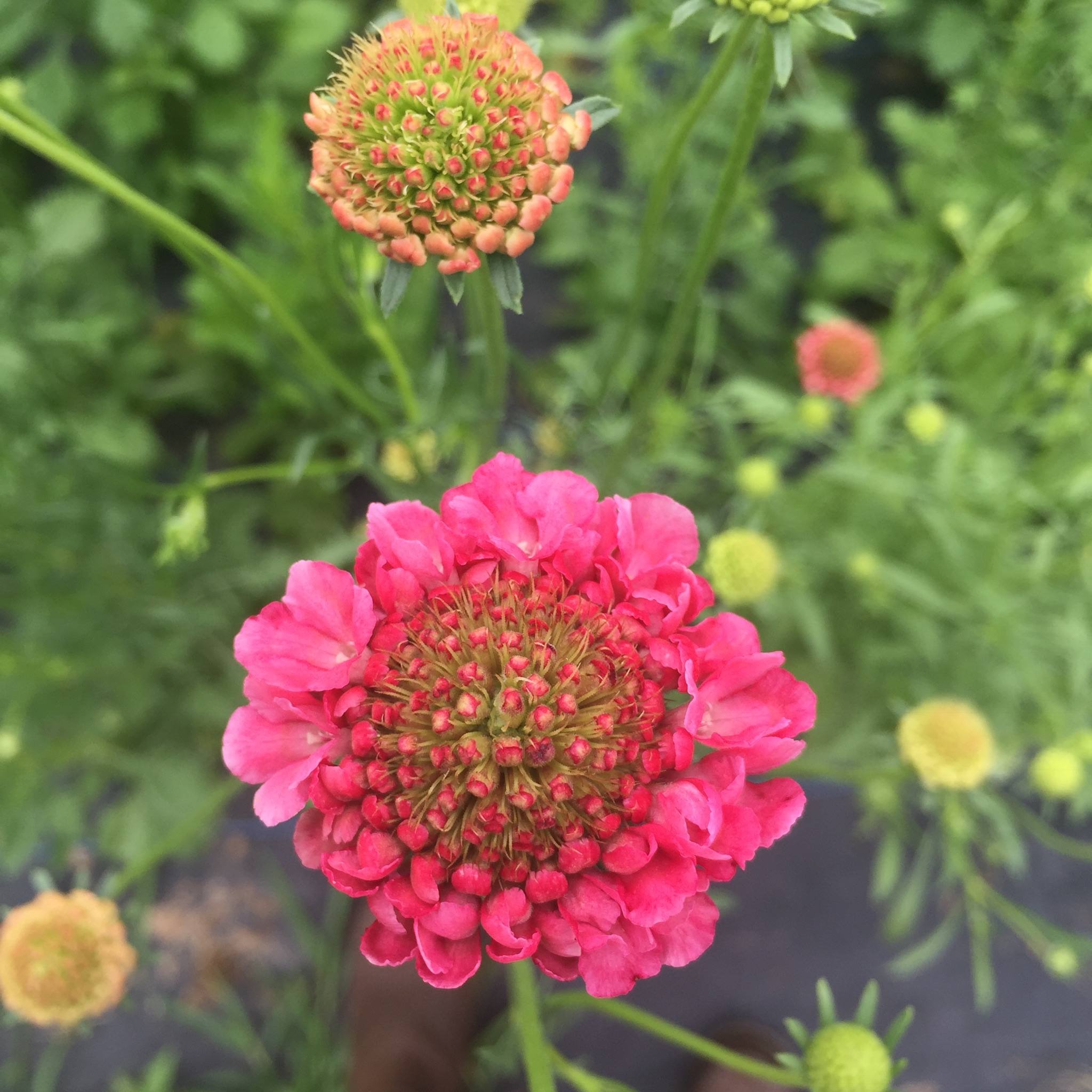 Scabiosa ~Pincushion Flower - Scabiosa are one of my absolute favorites! They grow well practically year round - they're very cold hardy so you can plant them in late fall for early spring blooms and they are heat tolerant. We plant them practically every week on the farm in a wide range of colors. Scabiosa are a staple in practically every bouquet that we create, whether for a wedding or grocery store since they add the perfect amount of whimsy and movement. To get the maximum vase life, harvest when the first petals begin to form on the edges of the pincushion.