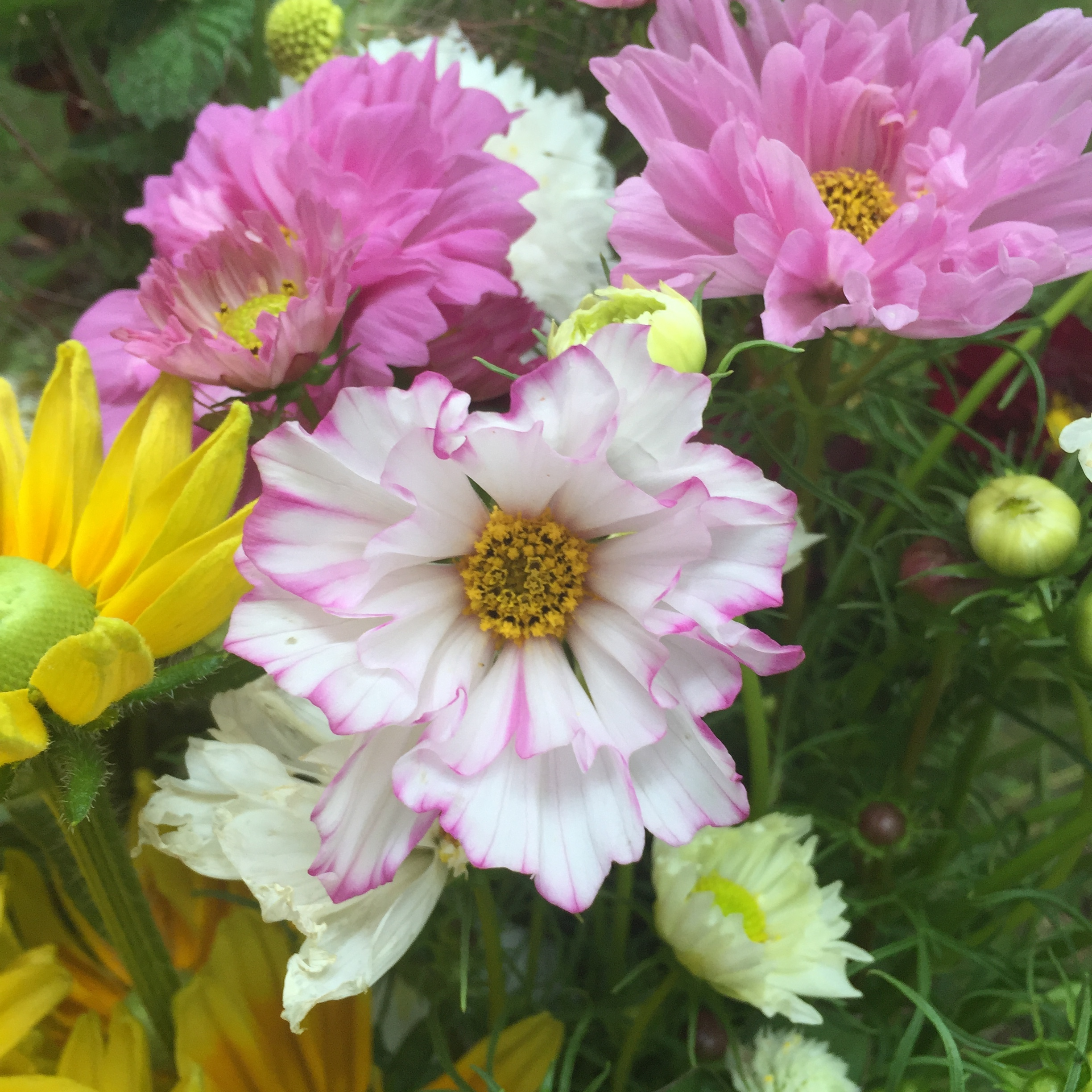 Cosmos 'Double Click' Mix - These are not your average cosmos! With ruffly, fluffy petals theses beauties will make your heart skip a beat. Like zinnias, cut cosmos deeply at first to encourage longer stems and more branches. Pick cosmos when they first petals start to unfurl from the bud. Cosmos are a great filler for bouquets and this mix comes in shades of white, light pink, dark pink and white with pink picotee. Their fern-y foliage adds a lovely texture to bouquets too.