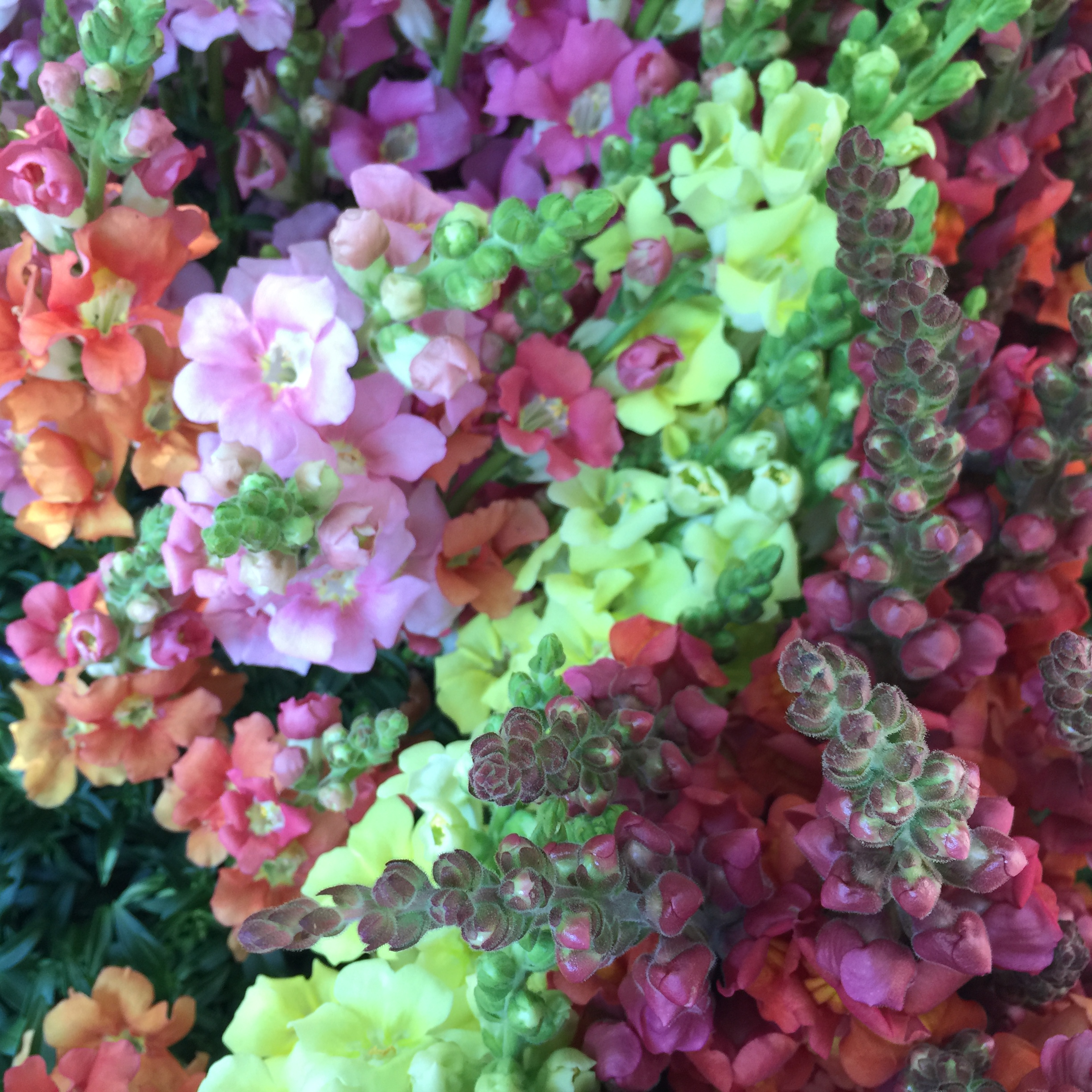 Snapdragons - Favorite varieties: Chantilly + Madame Butterfly series