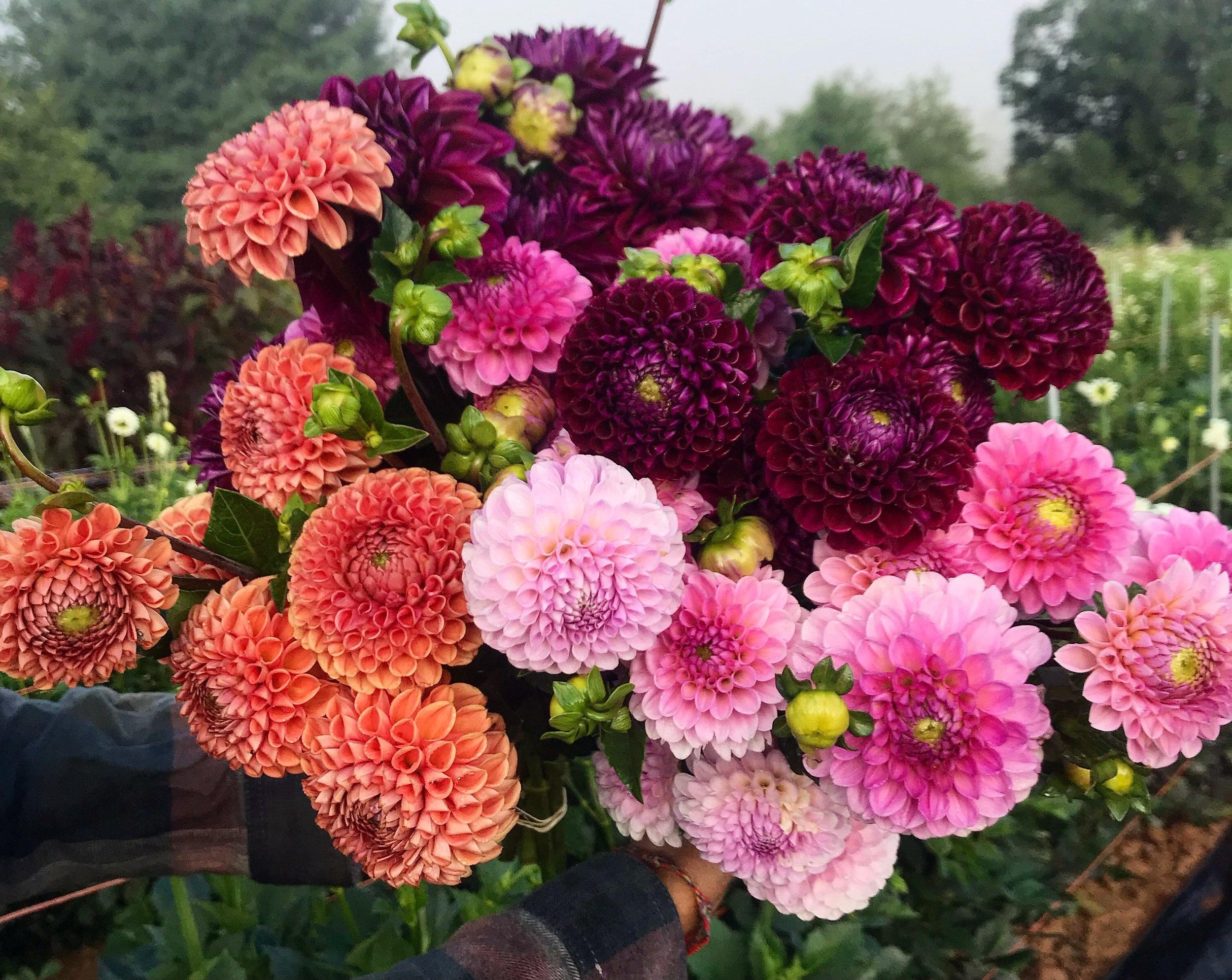 colorful dahlia handful
