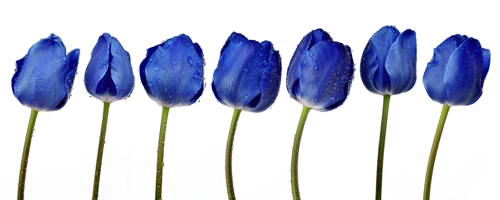Last Word Designs Portfolio Blue Tulip Publishing Tulips.jpg