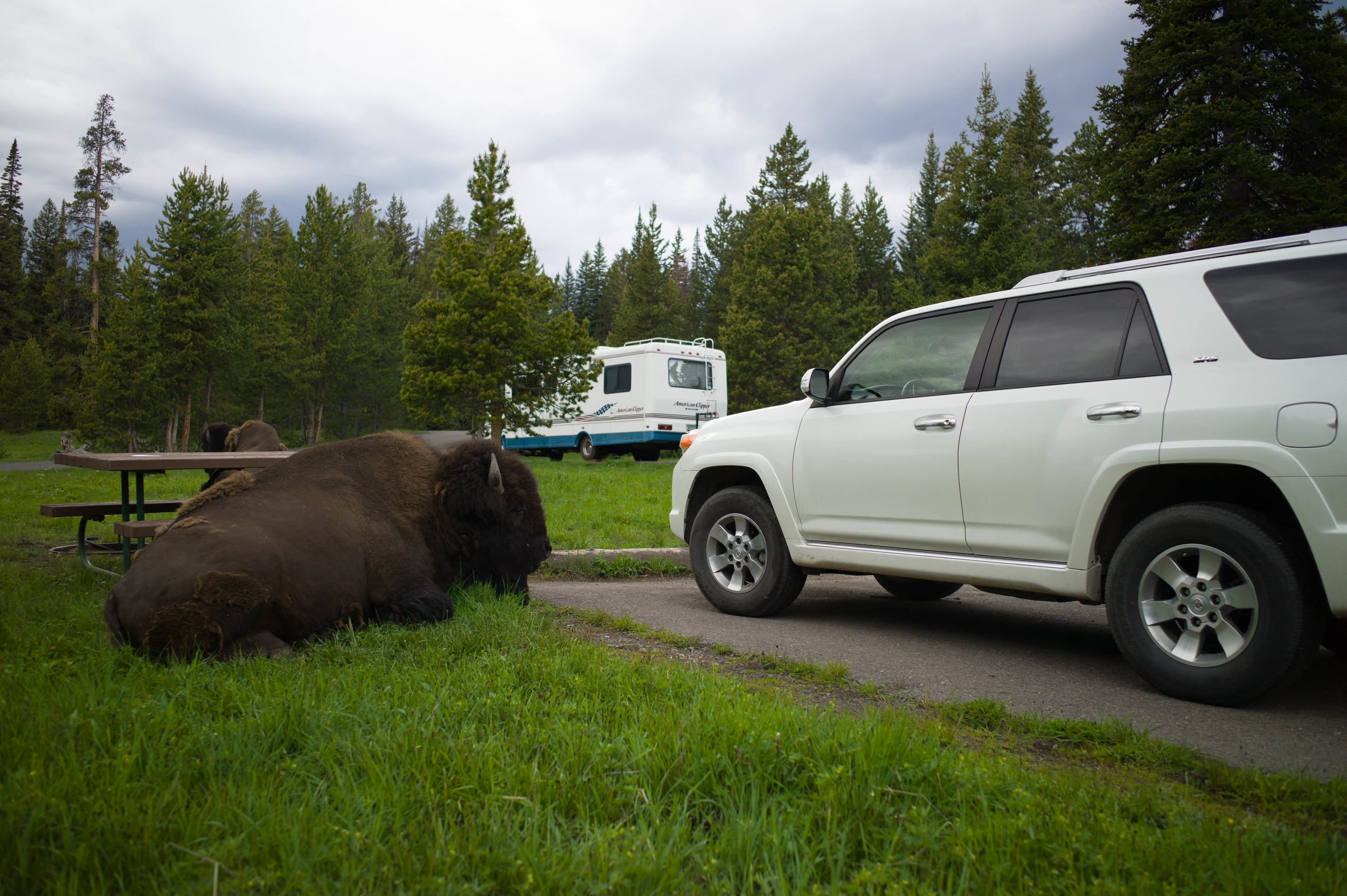 Bison in Camp