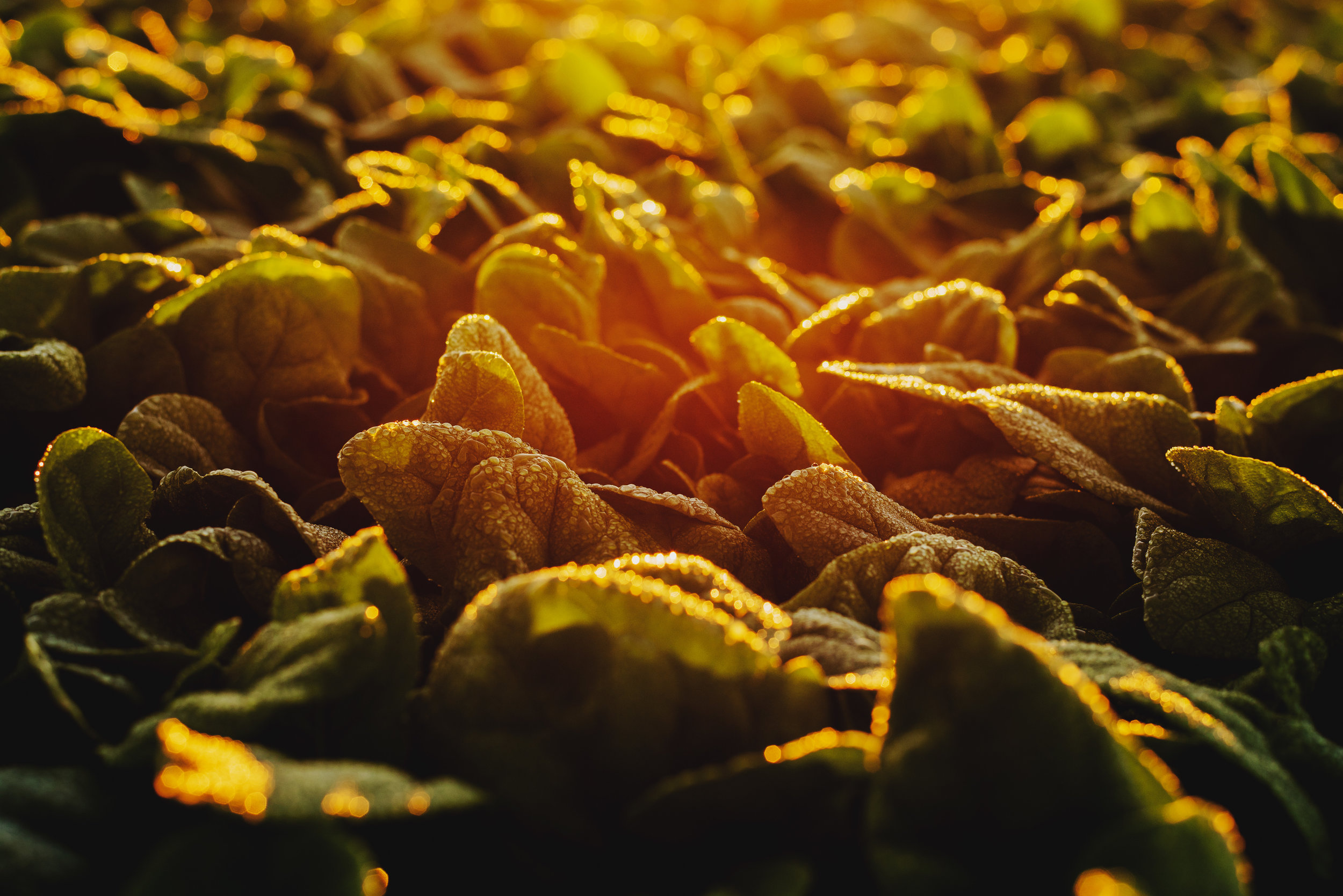 Arizona-Spinach_0010.jpg