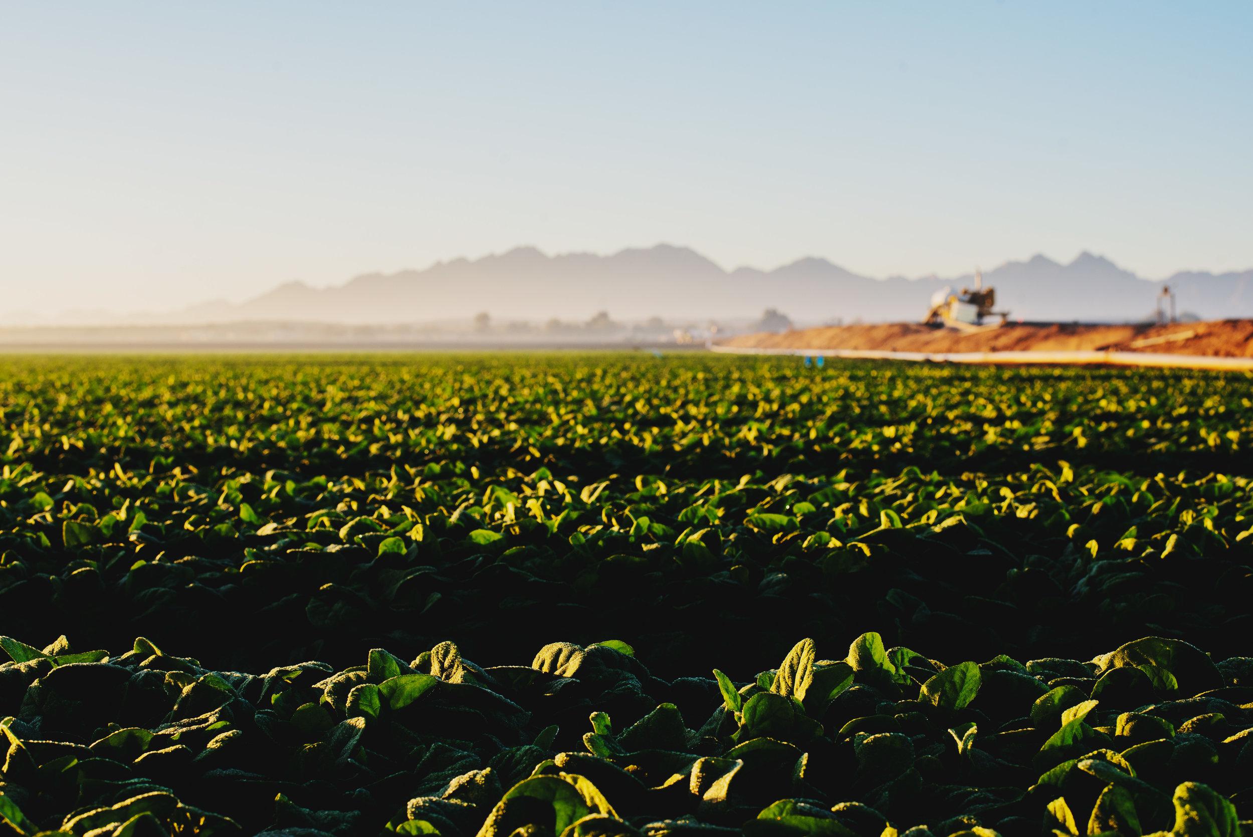 Arizona-Spinach_0043.jpg