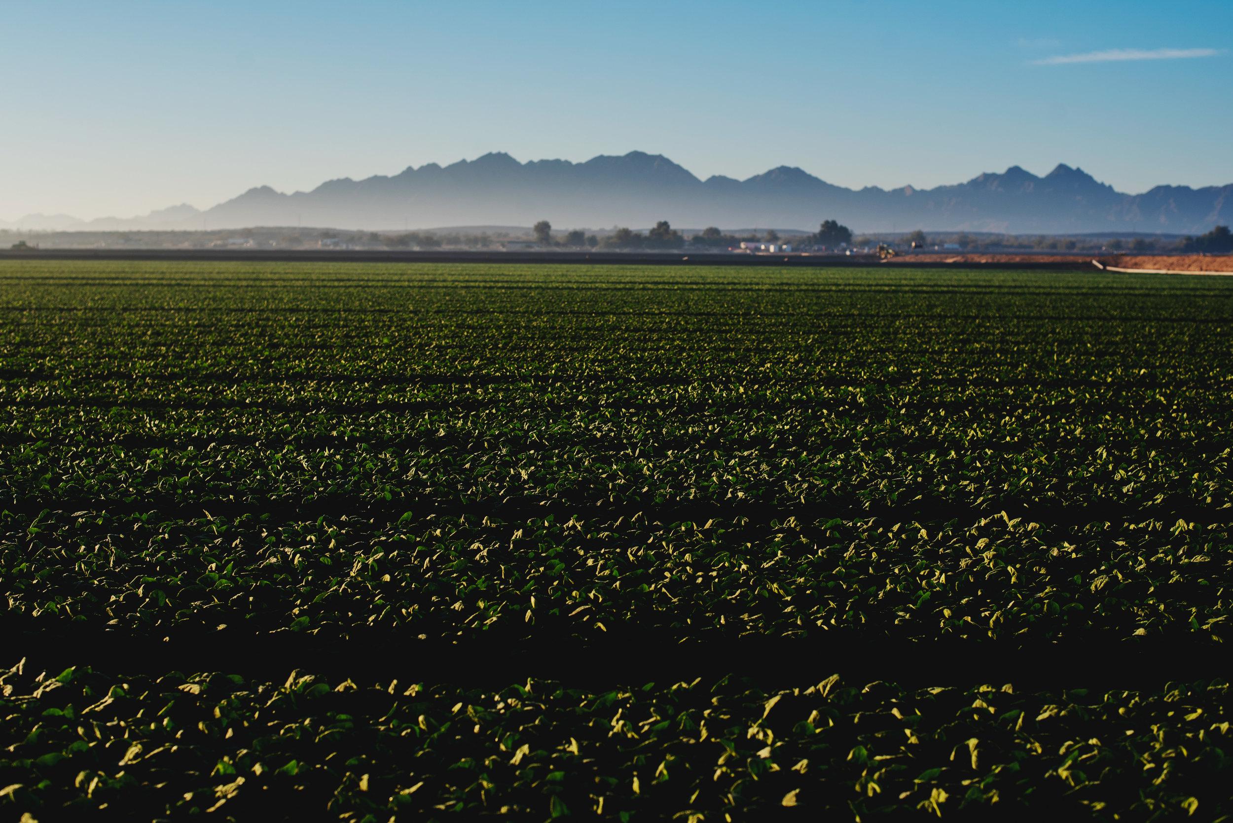 Arizona-Spinach_0098.jpg