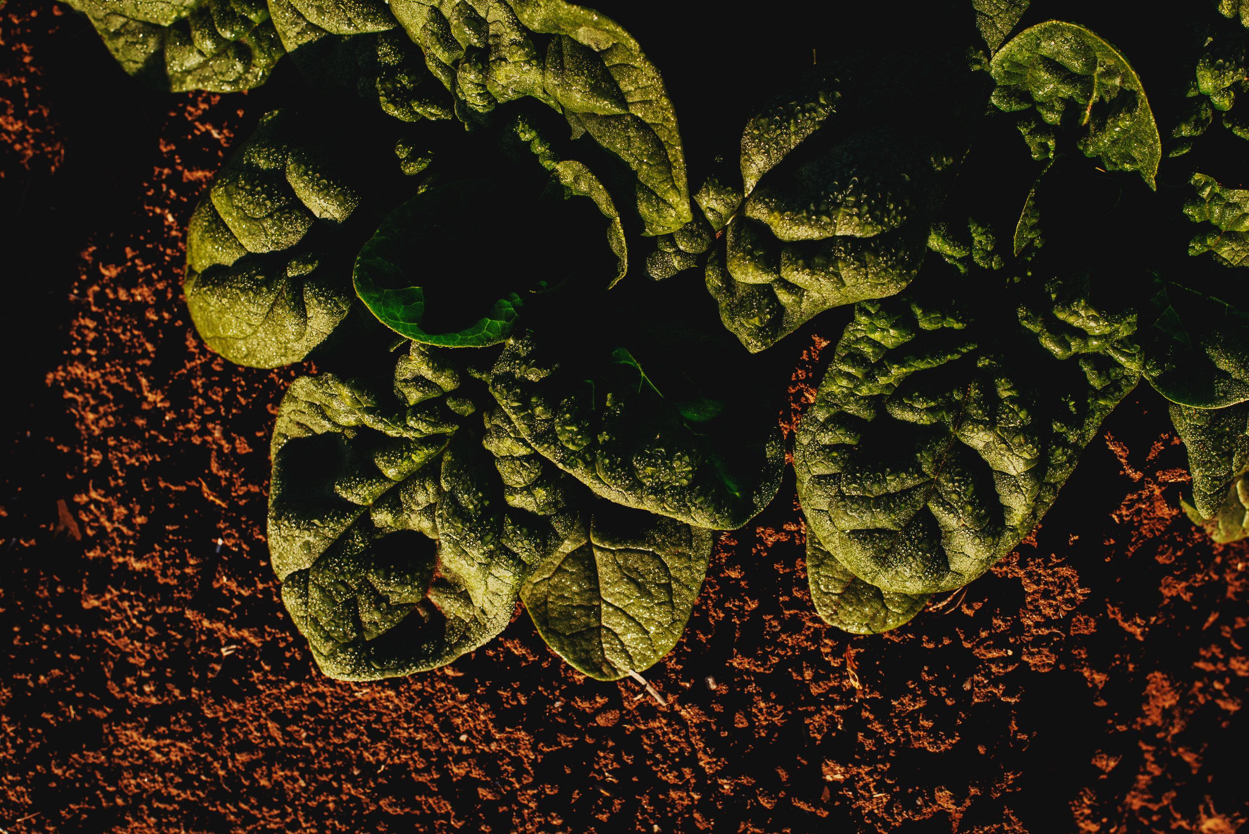 Arizona-Spinach_0126.jpg