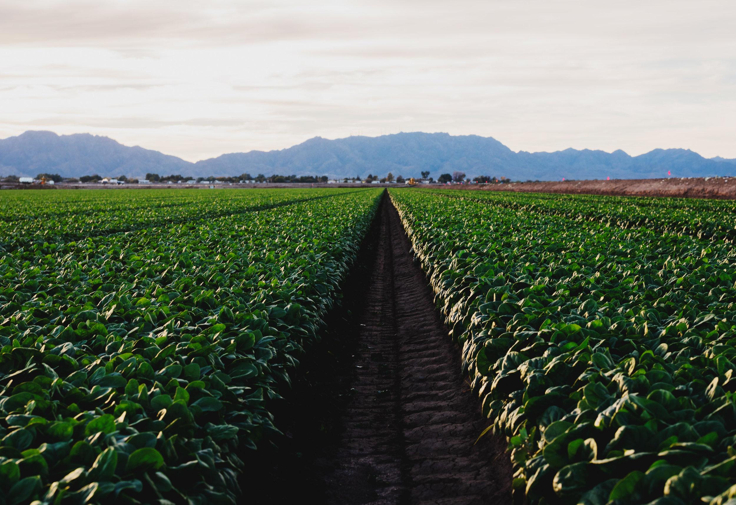 Arizona-Spinach_0165.jpg
