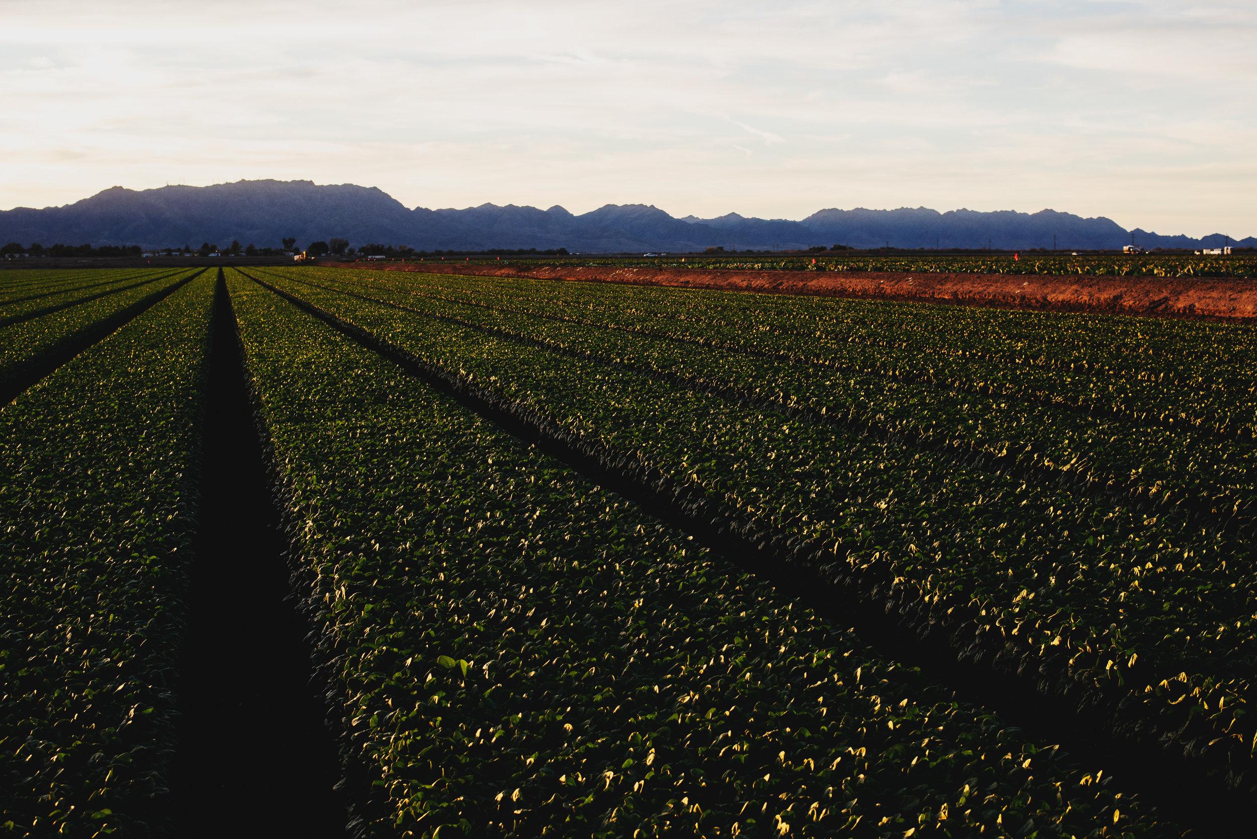 Arizona-Spinach_0212.jpg