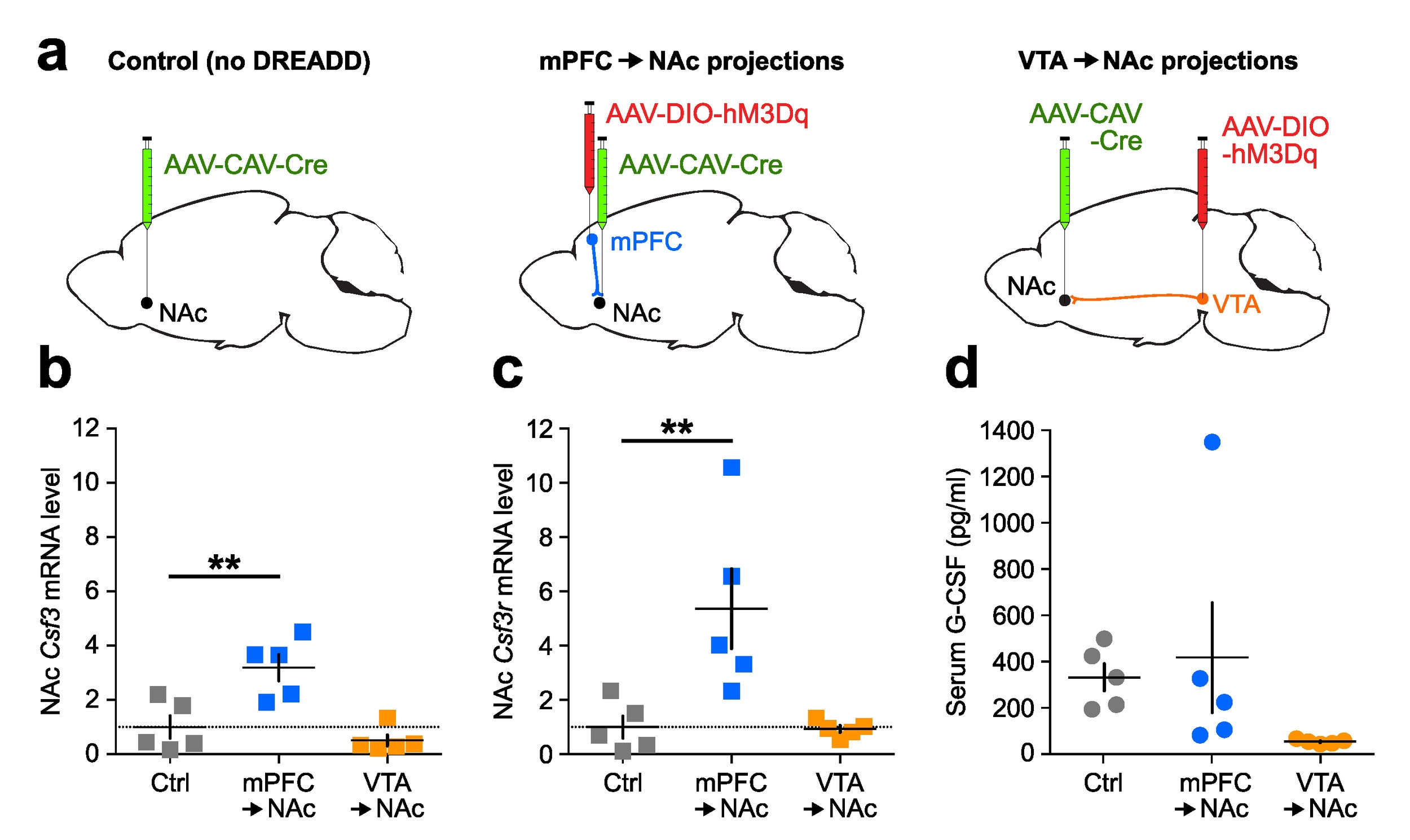 Fig. 5 G-CSF levels are increased by the selective activation of mPFC to NAc projections.   a  Experimental design of projection-specific DREADD stimulation. Mice were injected with a retrograde traveling CAV2-Cre virus in the NAc and a Cre-dependent hM3Dq-DREADD virus in either the mPFC or the VTA to allow for the specific stimulation of either mPFC to NAc or VTA to NAc.  b  Csf3 (G-CSF) mRNA levels in the NAc were increased after mPFC to NAc stimulation.  c  Csf3r (G-CSFR) mRNA levels in the NAc were increased only after mPFC to NAc stimulation.  d  Peripheral G-CSF serum levels were not affected by stimulation.