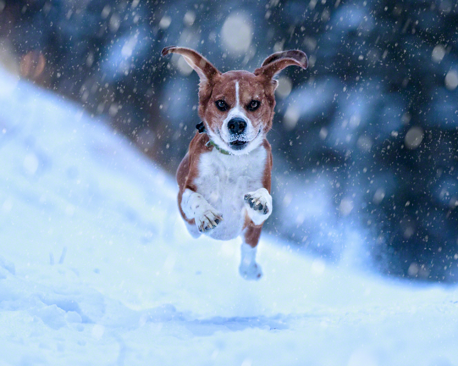 Photograph of a beagle running through the snow in Kananaskis Country Alberta