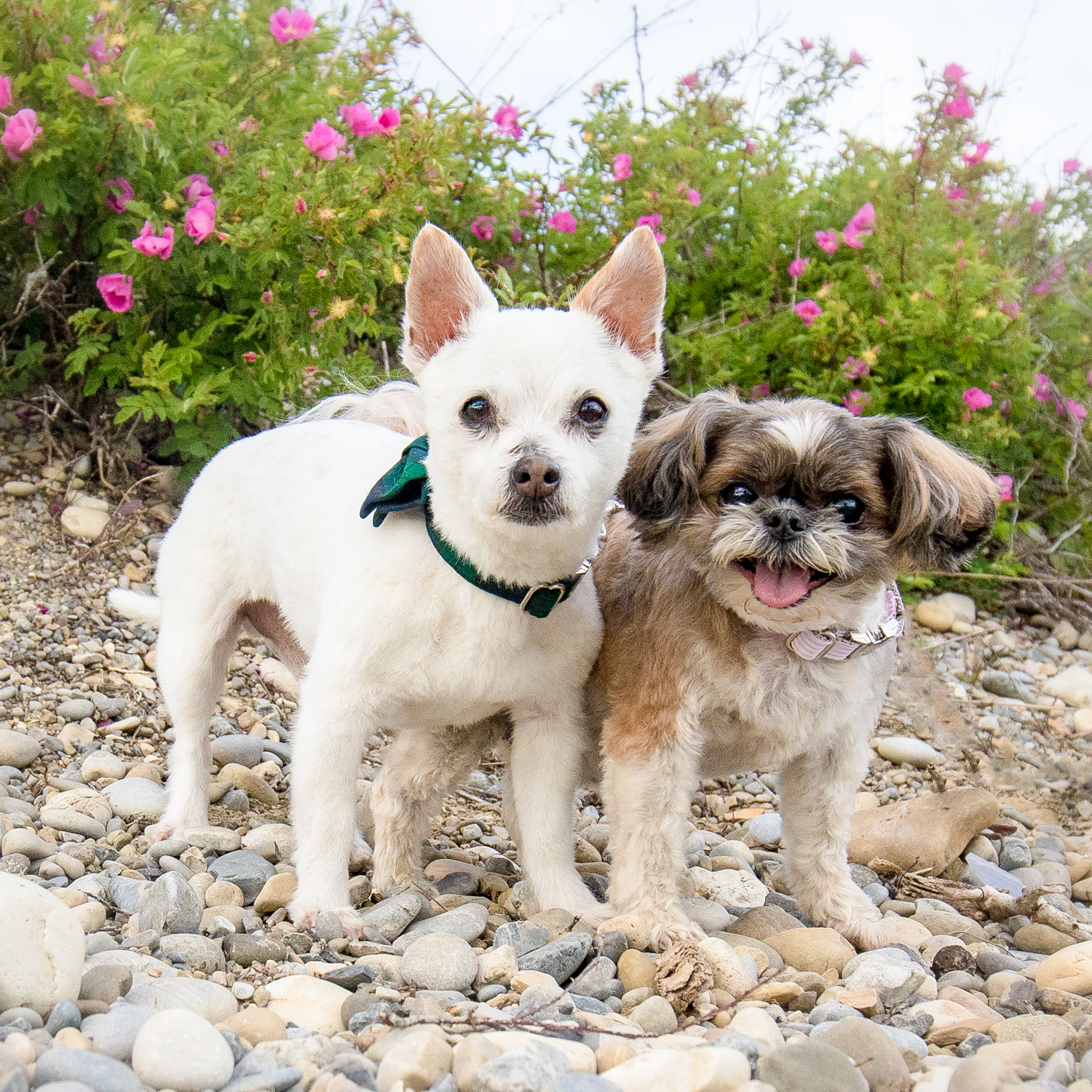 Two small breed dogs one smiling one with ears up