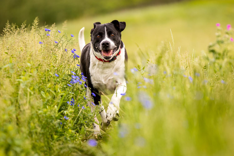 Shepherd running through grass and purple flowers