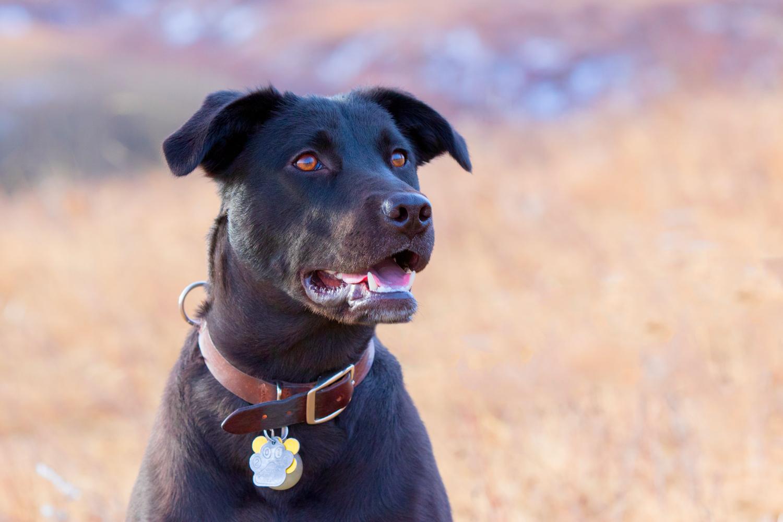 Black Labrador Retriever smiling with collar