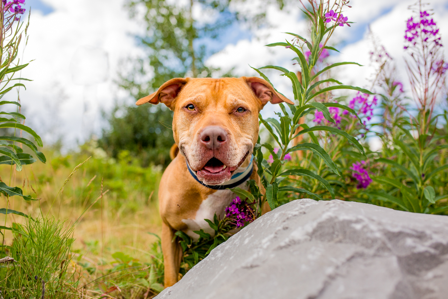 Dog behind a rock and surrounded by purple flowers
