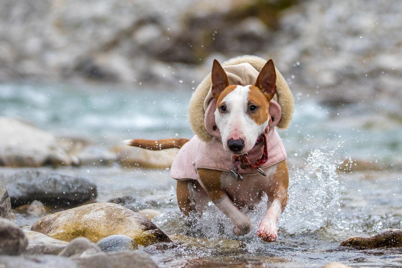 Gorgeous dog running through water in pink coat.jpg