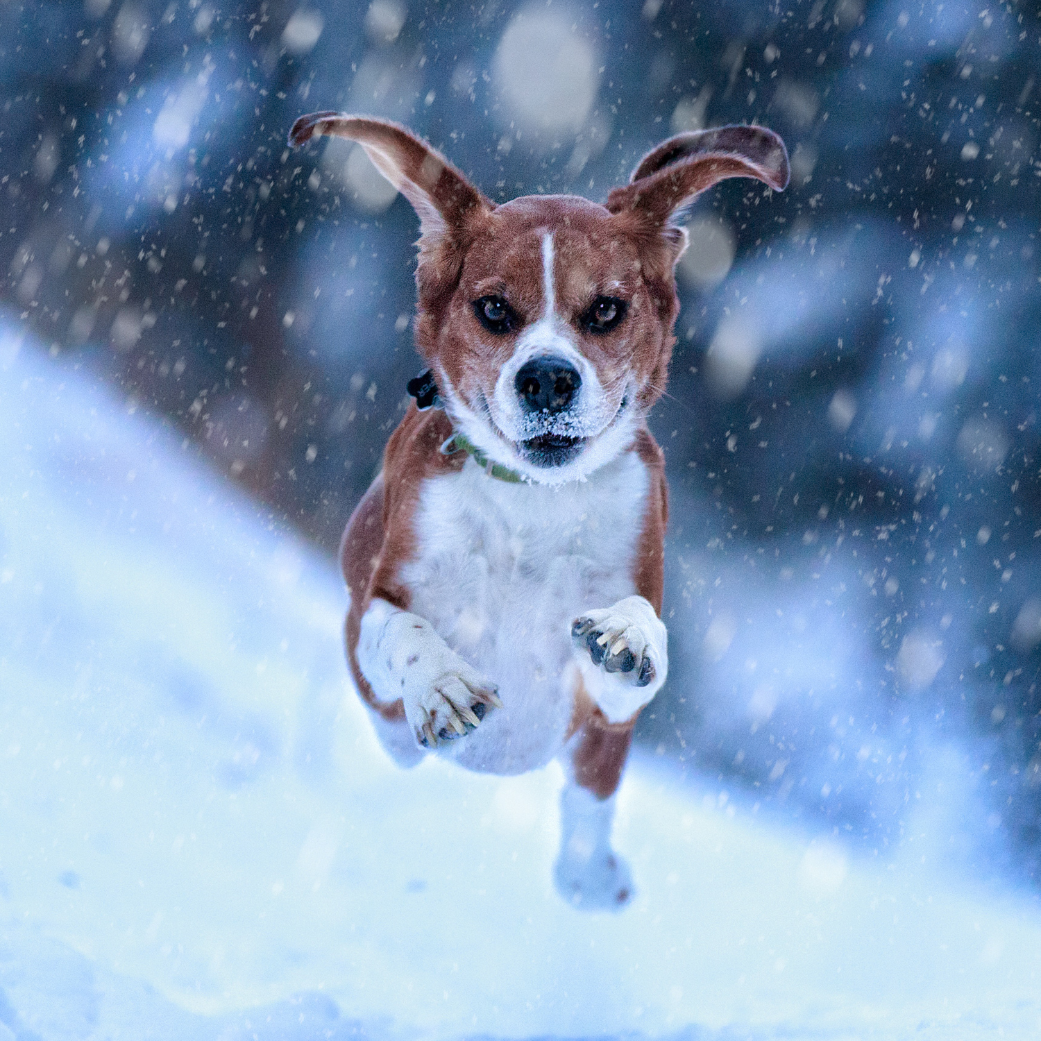 Beagle running through the snow with all four paw off the ground