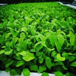 ARUGULA - Arugula is a nutrient rich leafy green and a great source of vitamin A, vitamin C, vitamin K, calcium, magnesium, and potassium. Highly versatile.