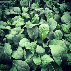 KALE - Kale or leaf cabbage has a sturdy texture and slightly bitter flavor. Kale is among the most nutrient dense foods on the planet. Kale is loaded with powerful antioxidants and is an excellent source of Vitamin C.