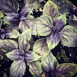HERBS - The round, often pointed leaves of the basil plant looks a lot like peppermint to which it is related. Its highly fragrant leaves are used as a seasoning herb for a variety of foods.