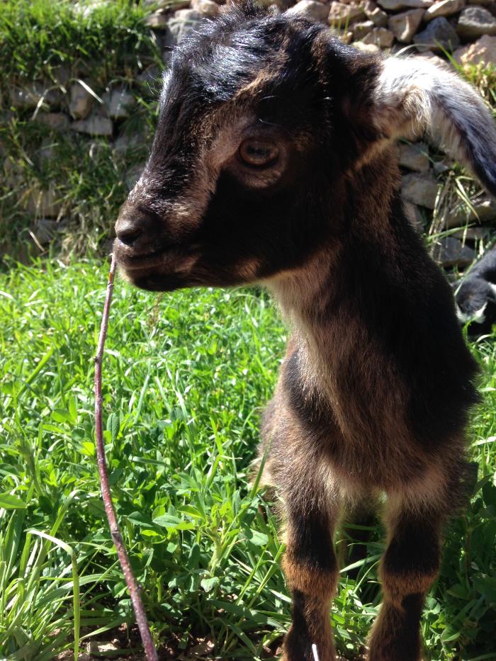 Adorable local goats.
