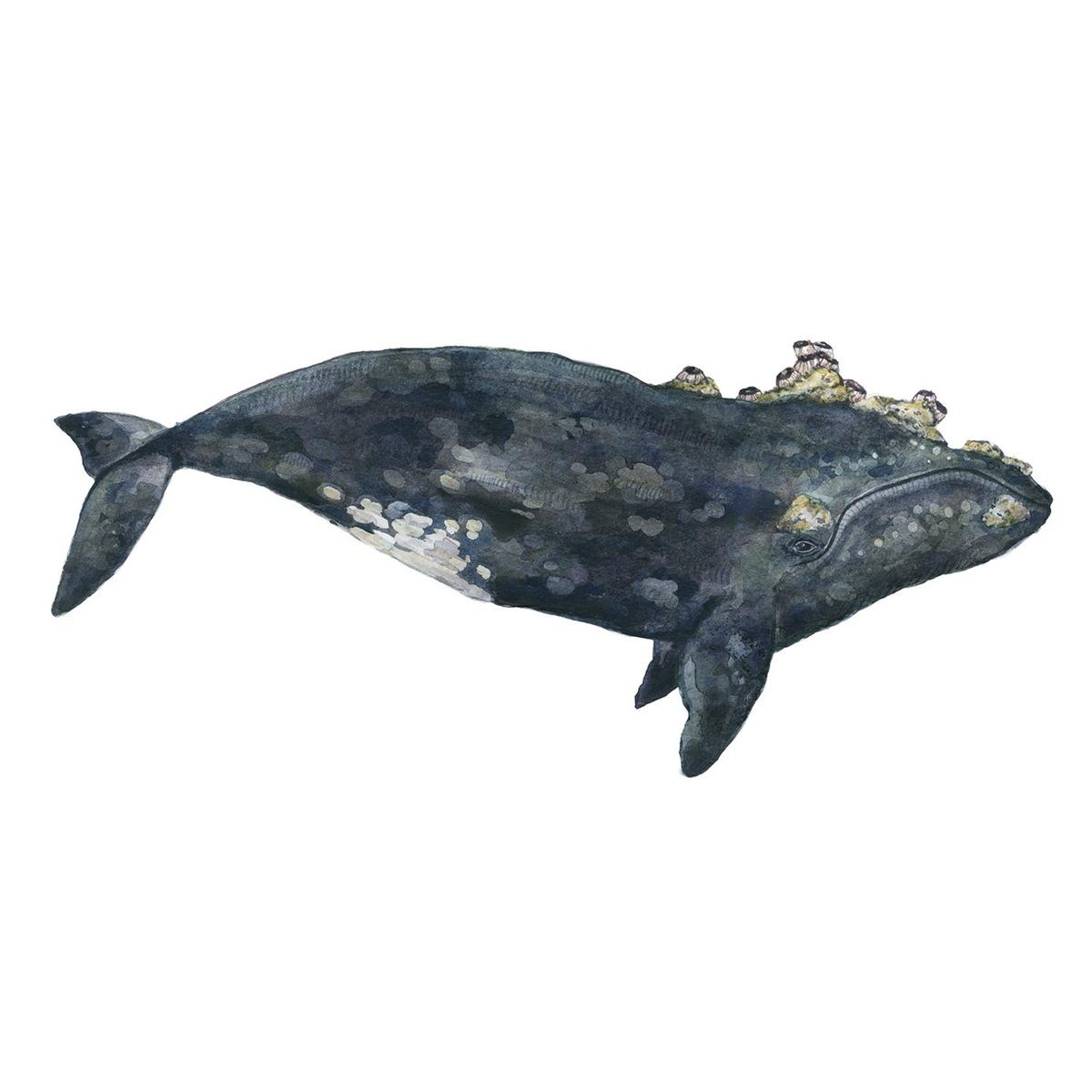 The Balanidae Whale