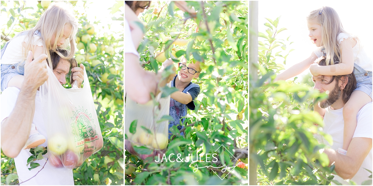 picking apples at eastmont orchards in colts neck nj