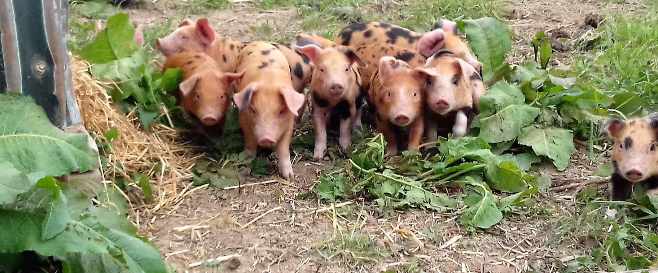 Tablehurst Pigs.jpg