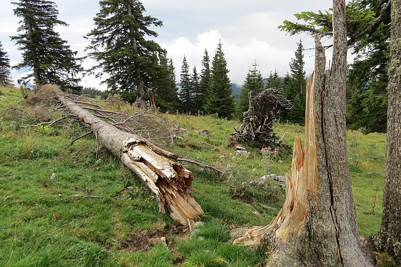 800px-2018-08-11_%28142%29_Snag_%28broken_tree%29_at_Tirolerkogel%2C_Annaberg%2C_Austria.jpg
