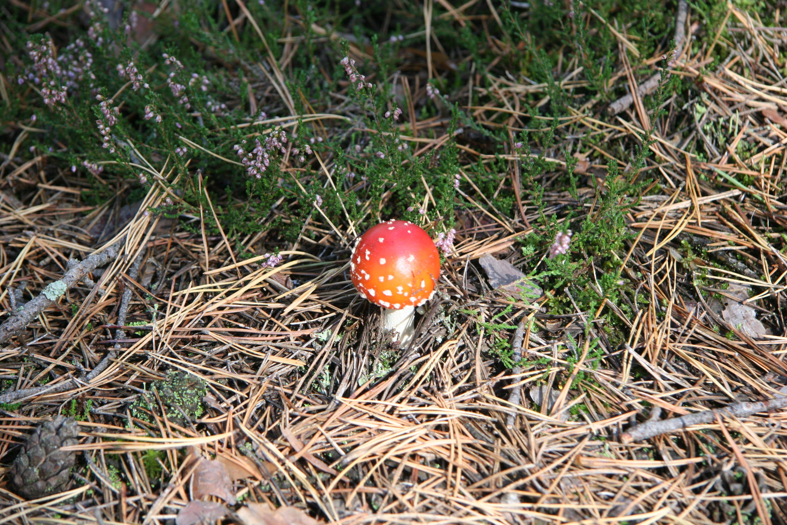 Radioactive mushroom in Red Forest