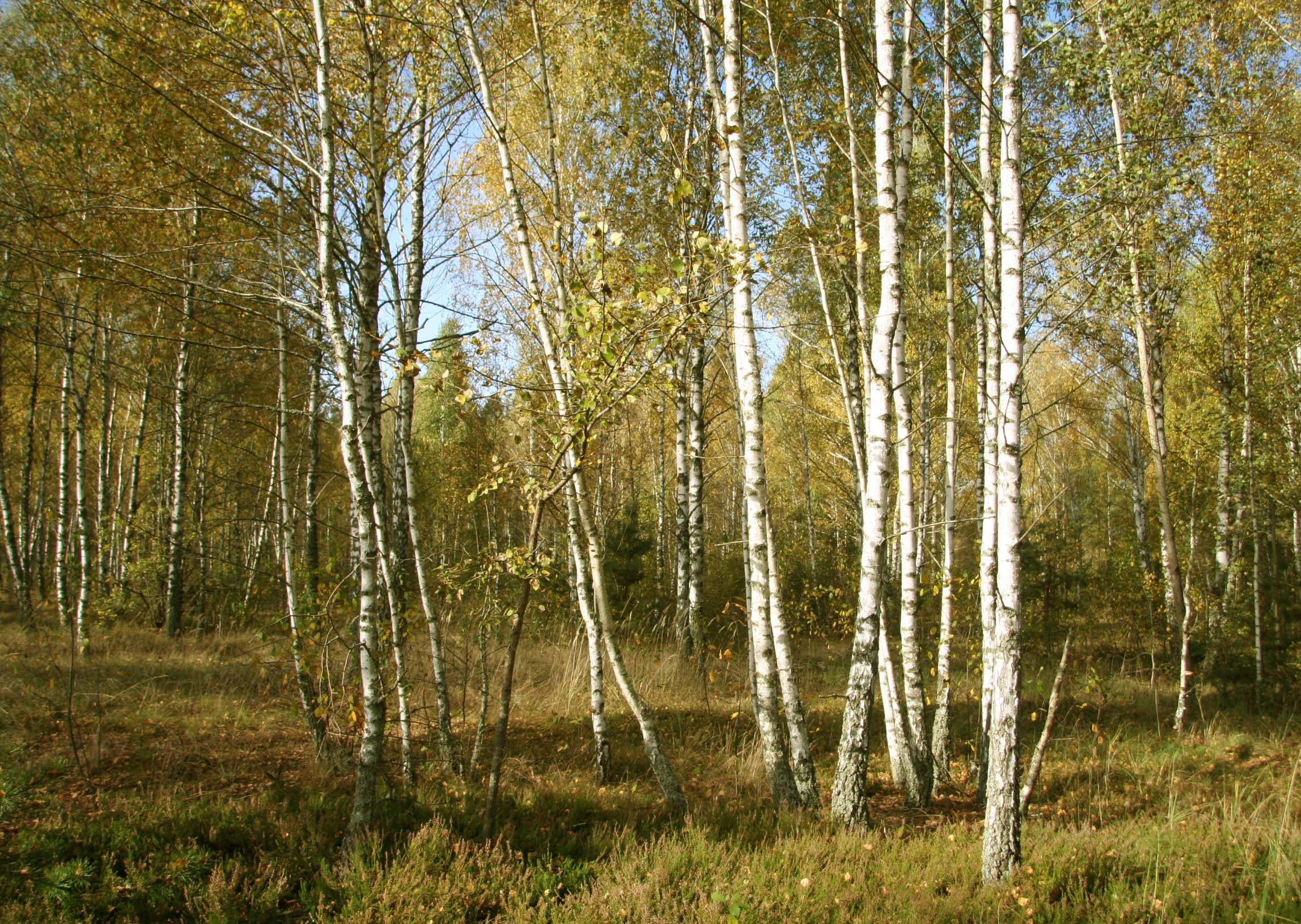 Birch forest near No. 4 nuclear power plant