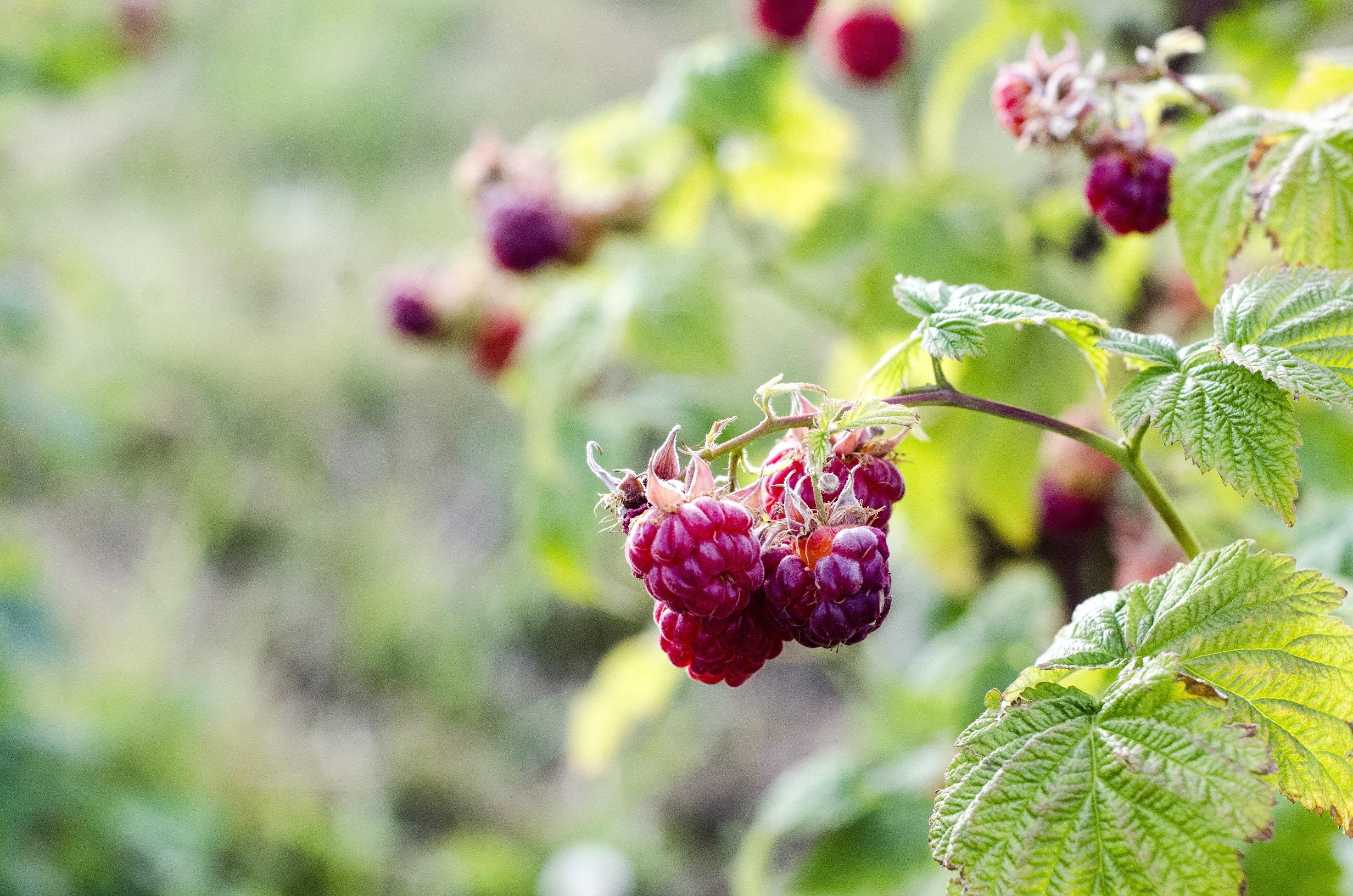 Red Raspberries.jpg