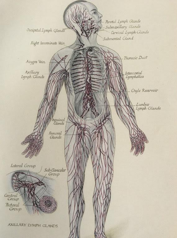 body lymph.jpg