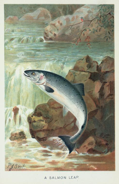 General Research Division, The New York Public Library. (1800 - 1899).  A Salmon Leap.