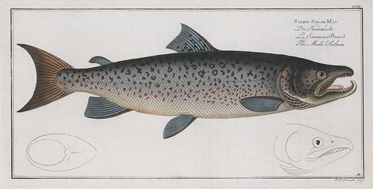 Rare Book Division, The New York Public Library. (1785 - 1797).  Salmo Salar Mas, The Male-Salmon.