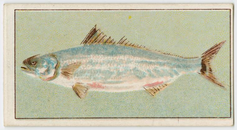George Arents Collection, The New York Public Library.  Salmon.