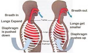 Diaphragm infograph.jpg