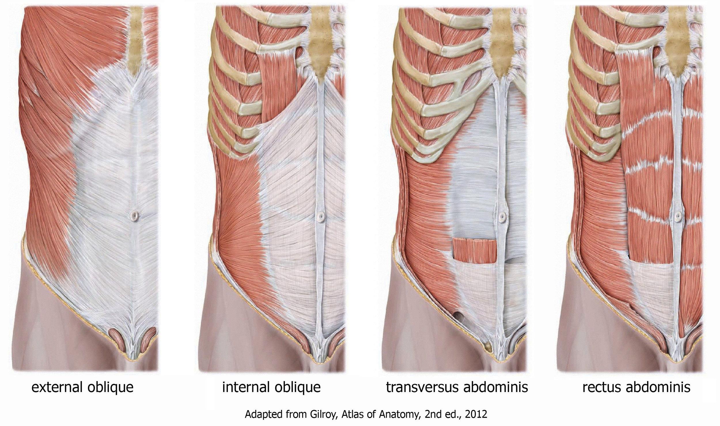 abdominalwallmuscles.jpg