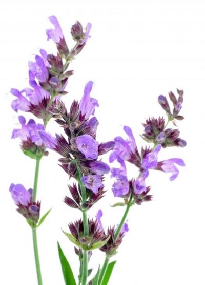 purple-salvia-isolated.jpg