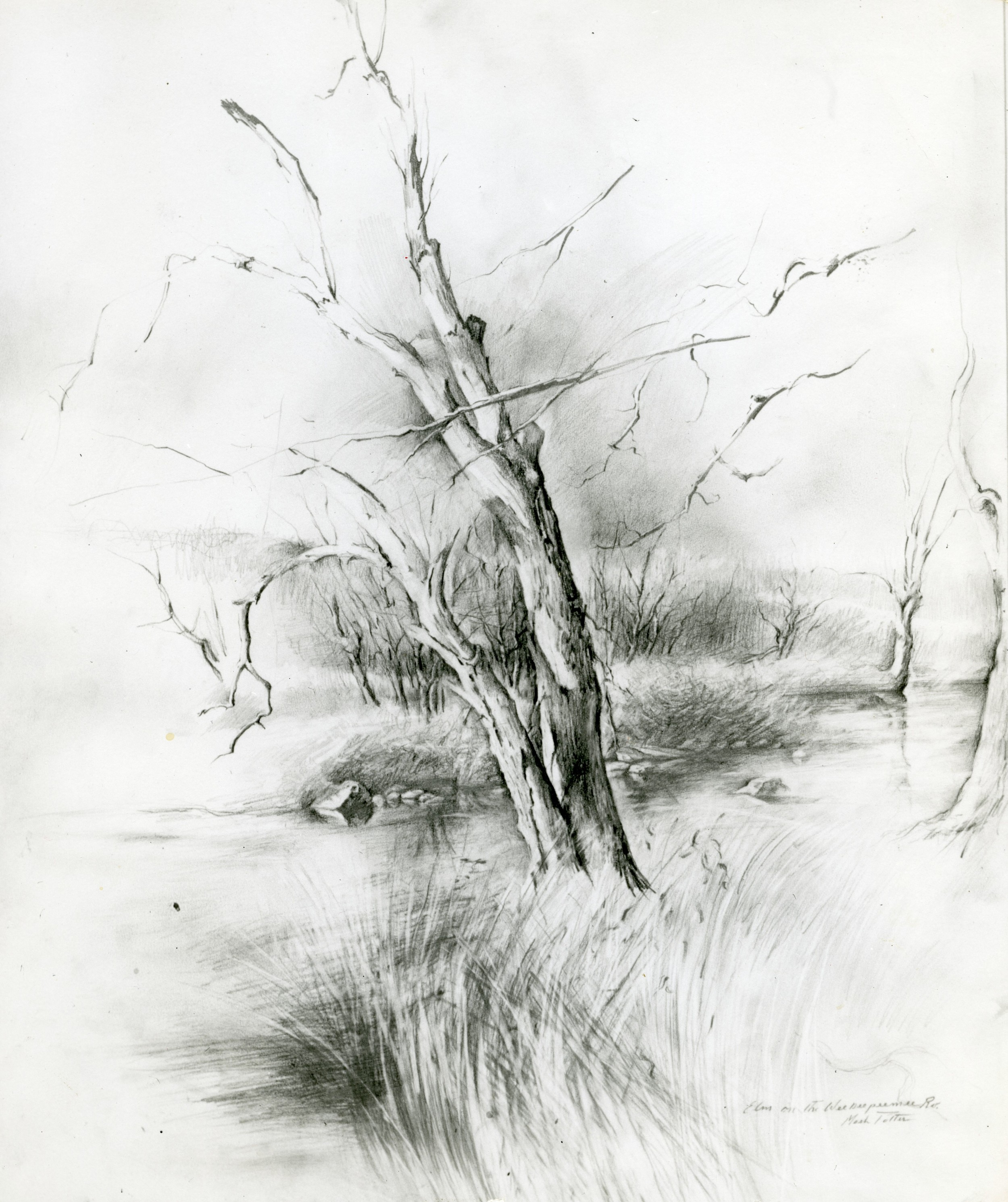 Elm on the Weekeepeemee River.     1972, pencil on paper. 28.1 x 22.4 inches.