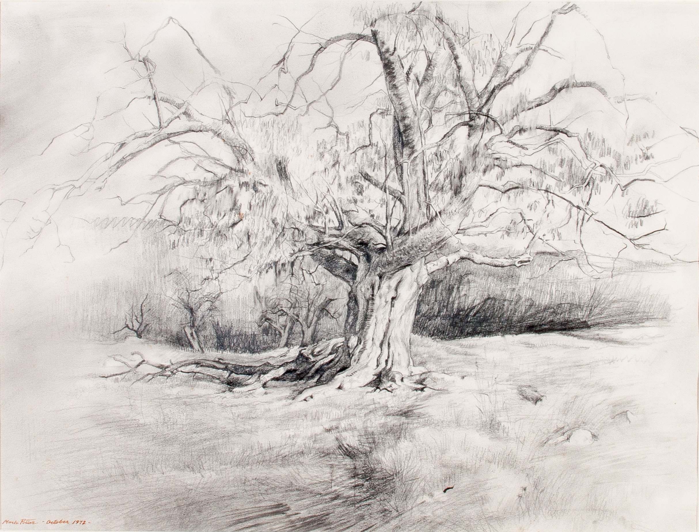 October 1972. [Grandfather Tree].   1972 , pencil on paper. 16.9 x 22.4 inches.