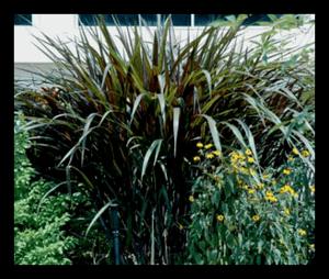 Pennisetum Purpureum 'Princess' (Dwarf)