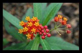 Bloodflower, Butterfly Weed