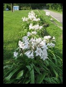 Crinum lilly