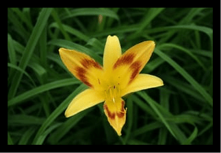 Daylily 'Wilson's Yellow''