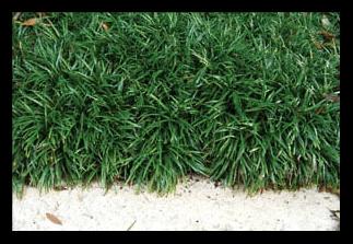 Dwarf Mondo Grass
