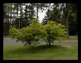 Dwarf Green Japanese Maple