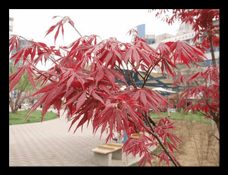 Dwarf Red Japanese Maple