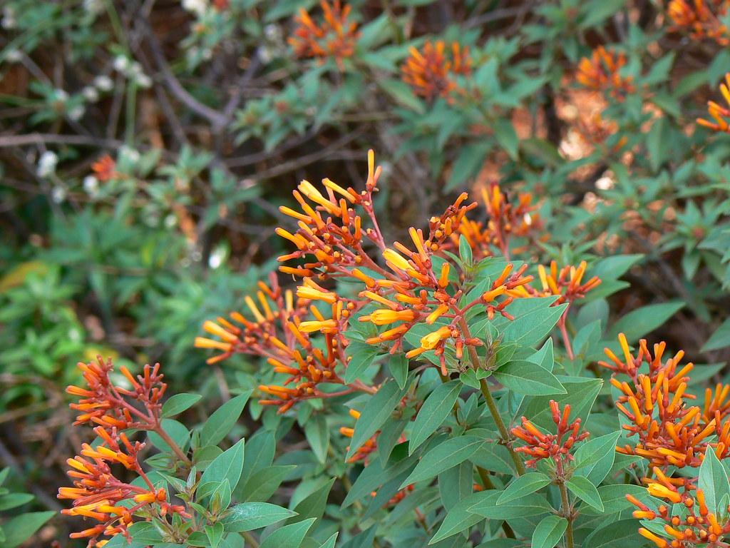 Hummingbird Bush.jpg